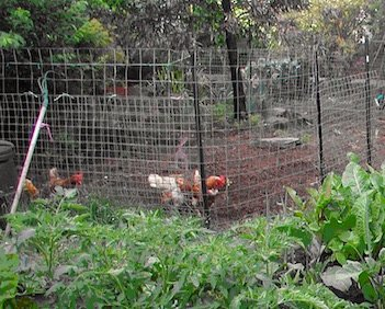 Cath Kerry's chooks in backyard